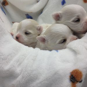 Puppies Neu Blanc