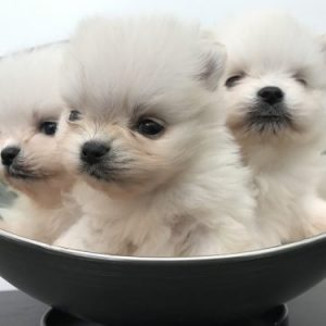 Puppies Neu Blanc II